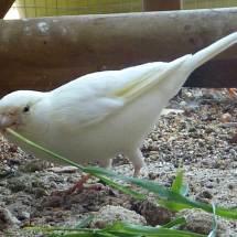 canari blanc