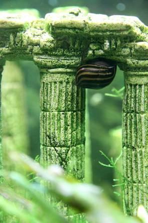 Escargot Neritina