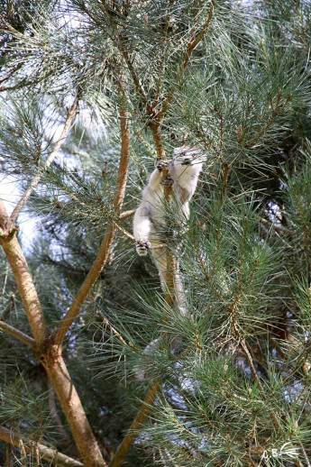Lémurien Lémur couronné