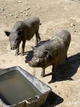 cochons nains, ferme du Dolmen, juillet 2008