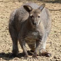 Wallaby, parc australien, 2010