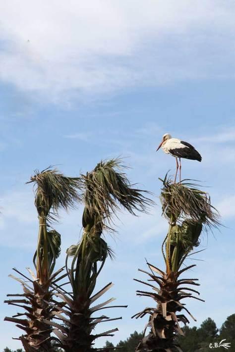 Cigogne sur un palmier