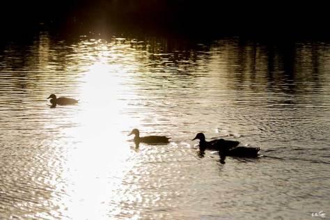Canards à contre-jour une belle fin de journée de décembre à la réserve de Pont de Gau en Camargue