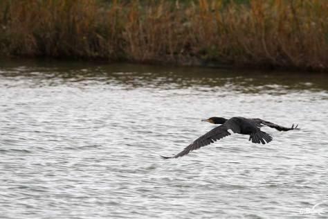 Cormoran en vol