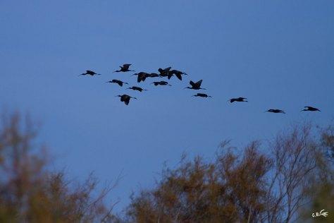 Vol d'Ibis falcinelle