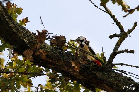 pic épeiche à la recherche de son repas dans un chêne, Gurgy (Yonne), 2017