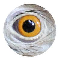 Gros plan d'un oeil de Guira cantara