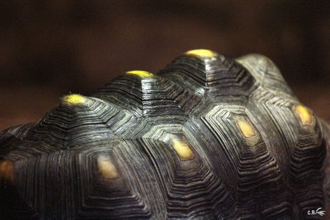 Gros plan sur la carapace d'une tortue charbonnière, Touroparc, novembre 2017