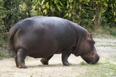 Hippopotame, Le PAL, juillet 2018