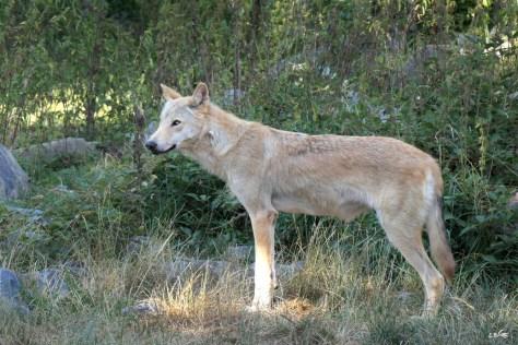 Loup du Canada, Le Pal, juillet 2018
