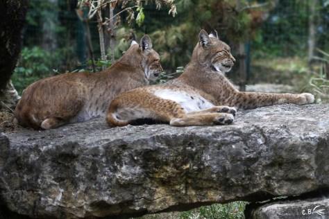 Lynx, Le Pal, juillet 2018