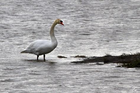 Cygne, parc ornithologique Pont de Gau (Saintes-Maries de la mer, Bouches-du-Rhône), février 2018