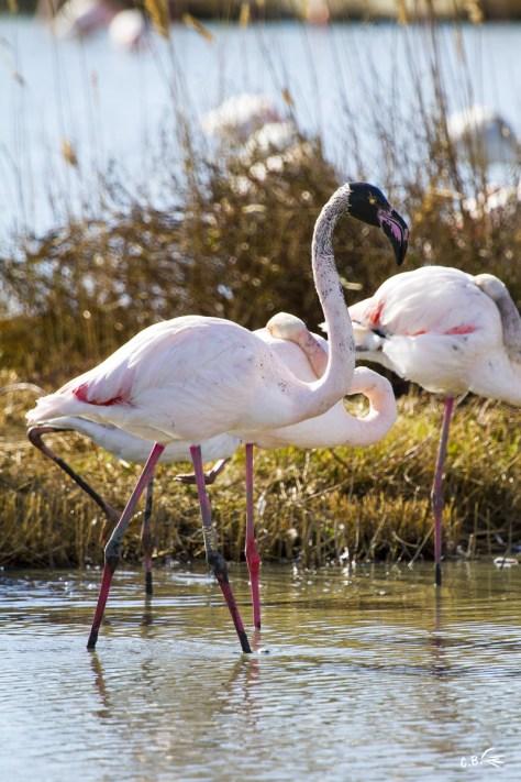 flamant rose à la tête boueuse, parc ornithologique Pont de Gau (Saintes Maries de la mer), février 2018