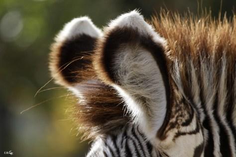 oreilles d'un zèbre de grévy, Touroparc zoo, novembre 2017