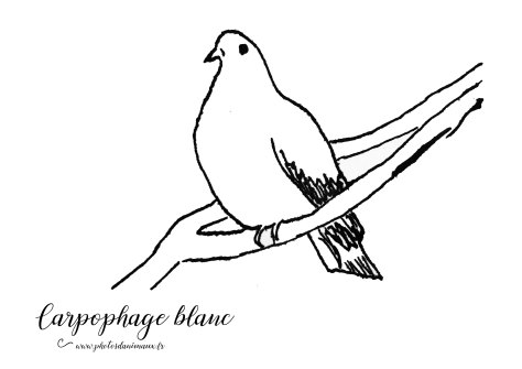 Coloriage, carpophage blanc