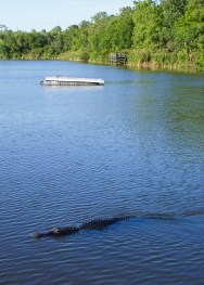 A gator swims 10 feet from a viewing platfor at the Six Mile Slough in Fort Myers.