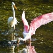 ff spoonbill wings 2