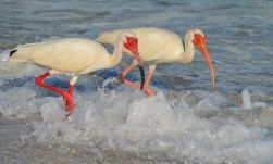 Ibises wade through the Gulf of Mexico off Sanibel Island.