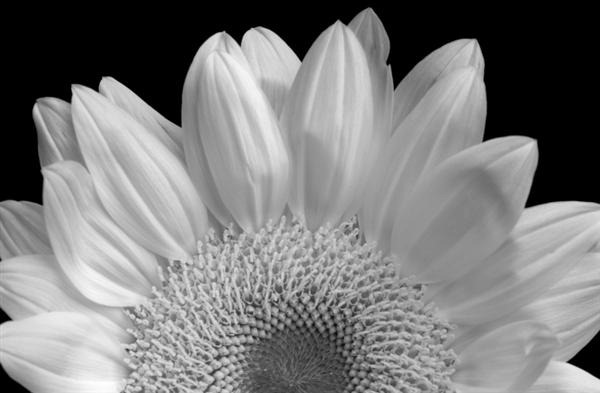 Sunflower Infrared