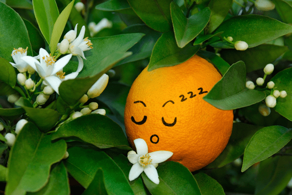 Sleeping orange