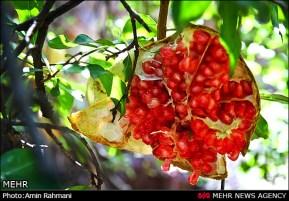 Gilan, Iran - Anbu, Pomegranate Harvest 2014 00
