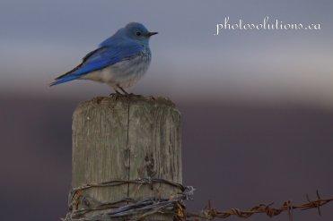Male Bluebird standing watch on fencepostcropped wm jpg