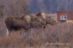 Moose Herd Horse Creek Road wm