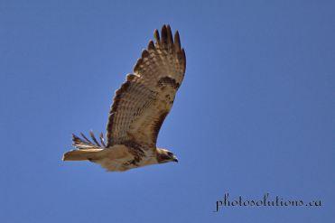 Hawk RR 40 near nest 2 cropped wm