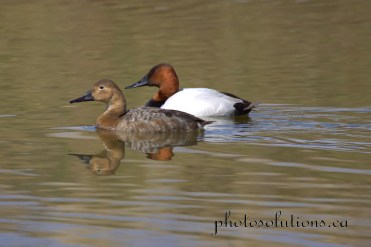 Canvasback Couple Riviera Pond cropped wm