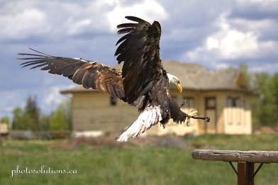 BOP Bald Eagle Flight Demo landing