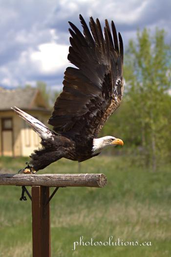 BOP Bald Eagle Flight Demo take off 2