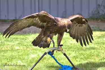 BOP Golden Eagle talons