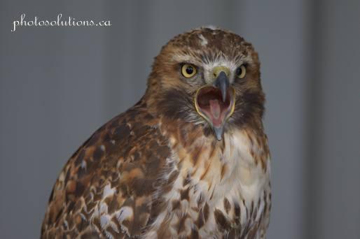 BOP Hawk call cropped wm