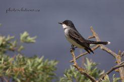 Eastern Kingbird Owens Slough cropped wm