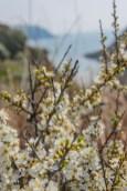 Epine noire (prunelliers).