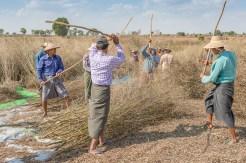 Récolte de graine vers Monywa