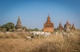 Temple et vaches de Bagan