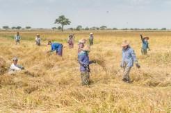 Les rizières et cultivateurs