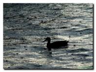 Sale temps de canard
