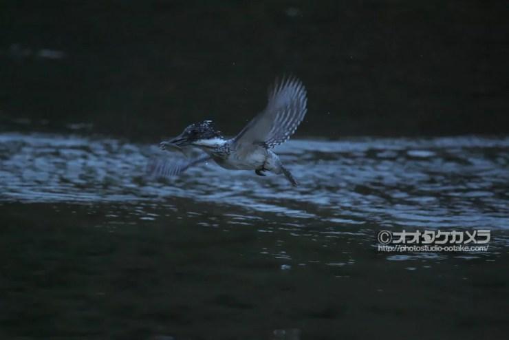ヤマセミ,オオタケカメラ,會津秘密基地
