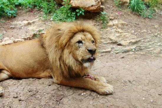 old-lion