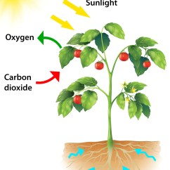 Draw A Diagram Of Photosynthesis Wireing Diagrams For Kids
