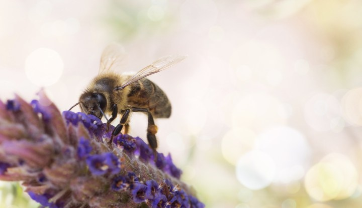 bee on lavendar-1