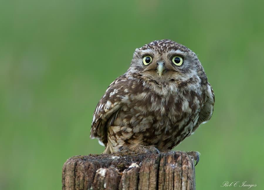 Little-Owl-by-Rob-Cross