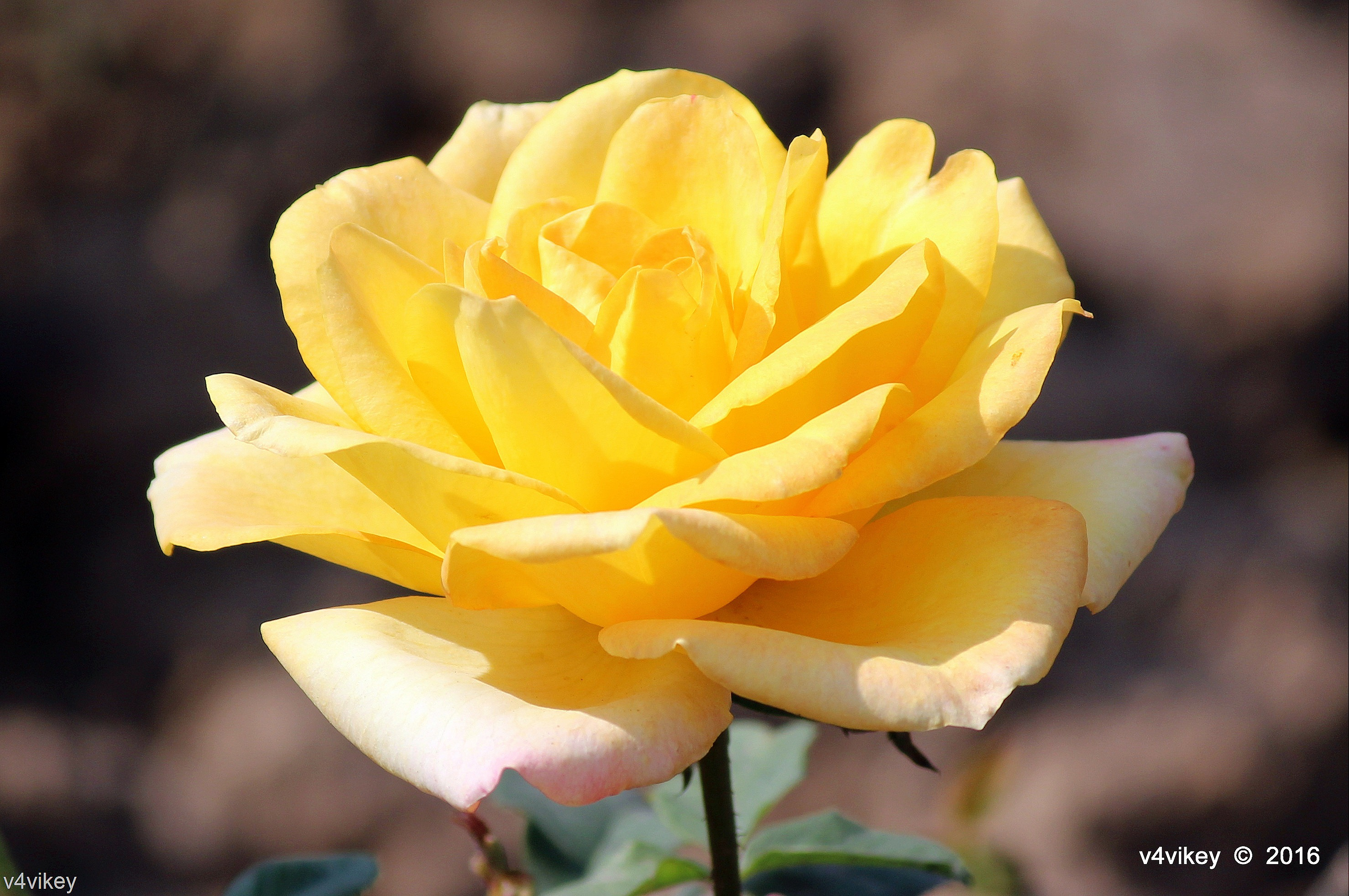 Yellow Color Eternal Flame Hybrid Tea Rose Flower