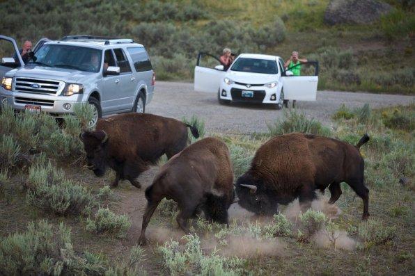 Bisons en rut. Vallée de Lamar, parc national de Yellowstone, 2014 © Michael Nicols/National Geographic Creative