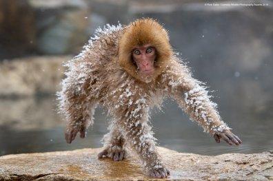 © Roie Galitz - Space Man. Japanese Snow Monkey