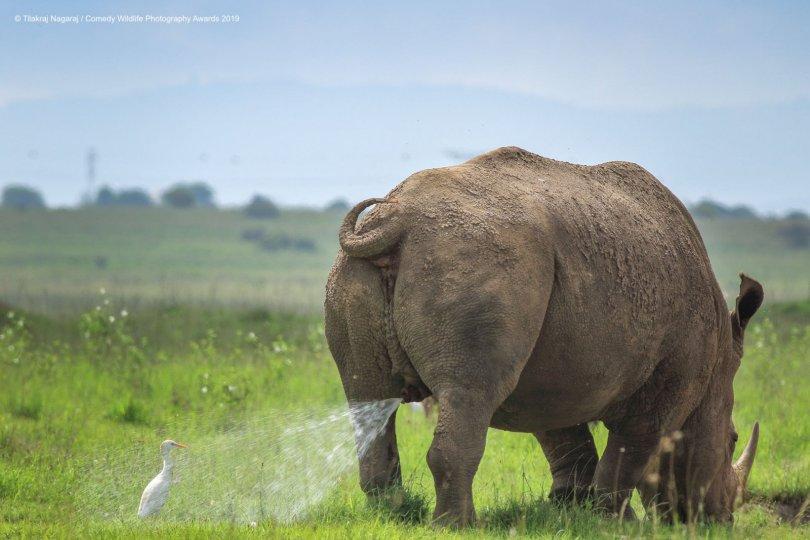 © Tilakra Nagaraj - Warning! Territory Marking, follow at your own risk. White Rhino, Egret, Nairobi National Park, Nairobi, Kenya