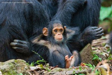 © Tom Mangelsen - Laid Back. Chimpanzee, Gombe Stream National Park, Tanzania