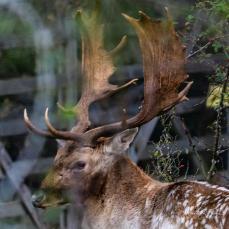 Buck Thrashing 3